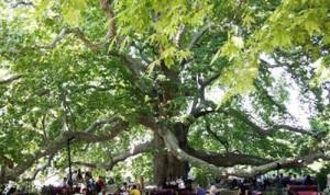 کهن ترین درخت جهان را می دانید کجاست؟
