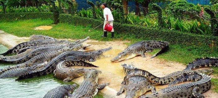 مزرعه کروکودیل در تایلند