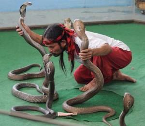 نمایش مارها در تور تایلند