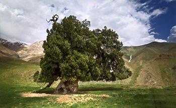 درخت ارس 2400 ساله